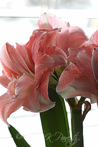 Amaryllis 'Pink Glory7'