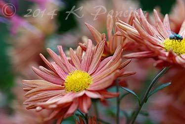 Chrysanthemum 'Rhumba1'