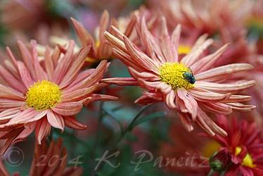 Chrysanthemum 'Rhumba2'