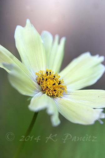 Cosmos bipinnatus 'Yellow Garden4'