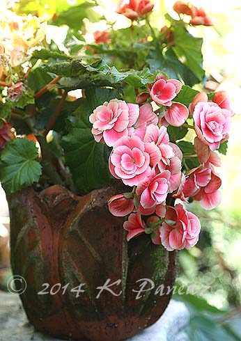 Amstel Begonia 'Red Rhine Round8'