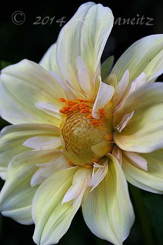 Dahlia 'Apple Blossom1'