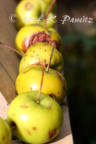 Autumn Apples1