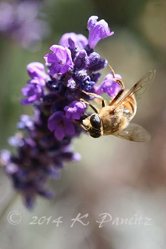 Honeybee on lavendar1