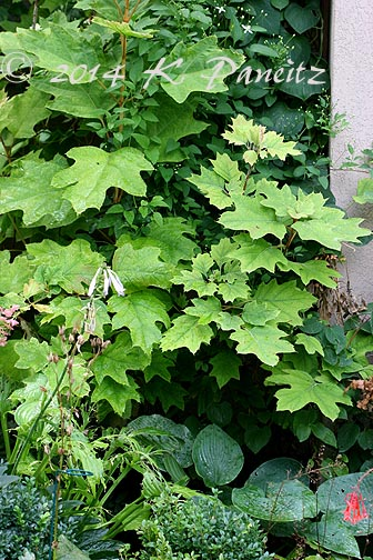 Oakleaf Hydrangea border1