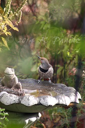 Flicker on birdbath