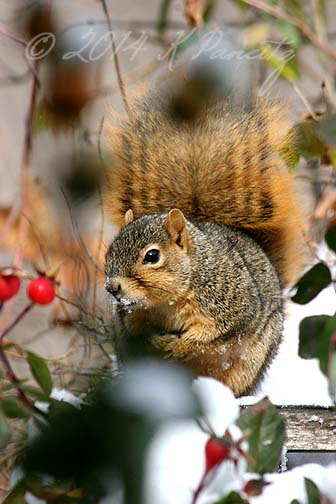 Red Fox Squirrel3