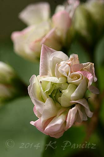 Pelargonium 'Apple Blossom Rosebud4'