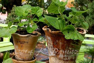 Pelargonium 'Apple Blossom Rosebud'
