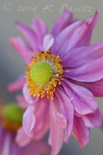 Anemone 'Pretty Lady Emily'