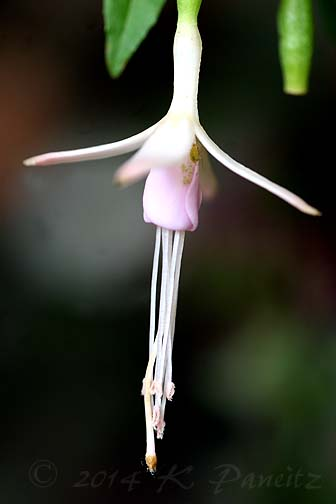 Fuchsia magellanica 'Lady's Eardrops1'