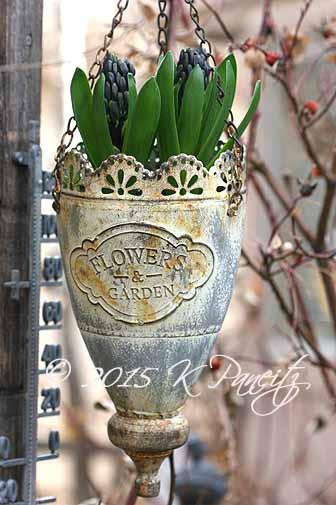 Forced hyacinths3