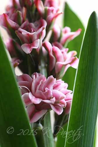 Hyacinth 'Eros2'