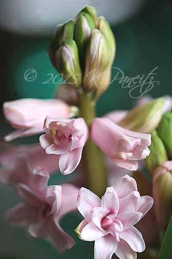 Hyacinth 'Hollyhock4'
