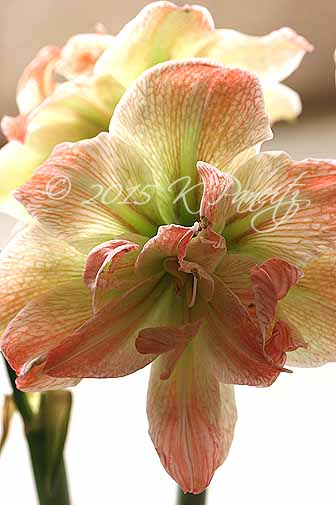 Amaryllis 'Exotic Nymph4'