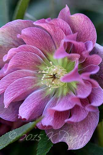 Hellebore 'Kingston Cardinal3'