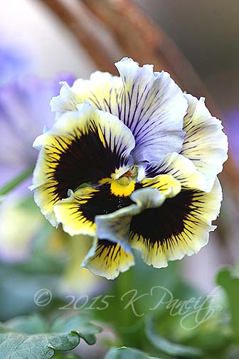 'Frizzle Sizzle' Pansy Basket1