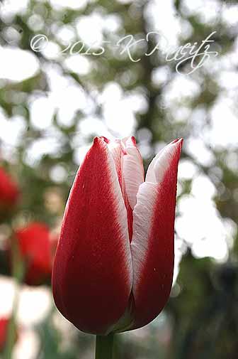 Tulip 'Leen van der Mark'