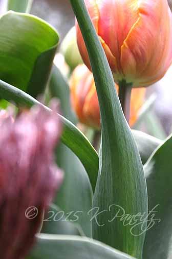 Tulip 'Orange Princess2'