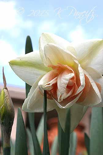 Narcissi 'Flower Parade'