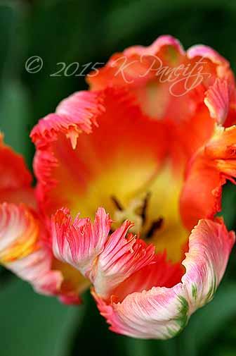 'Apricot' Parrot Tulip6