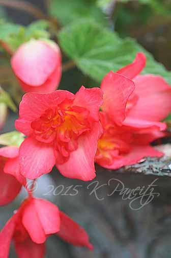 Begonia 'Cherry Bon Bon2'