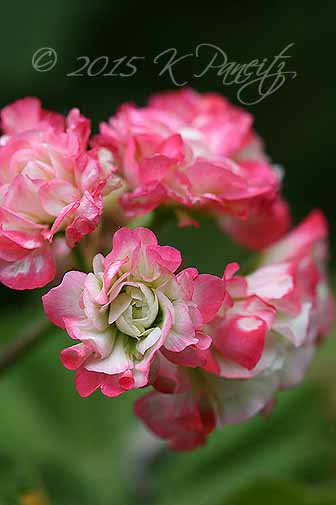 Pelargonium 'Apple Blossom' Rosebud2