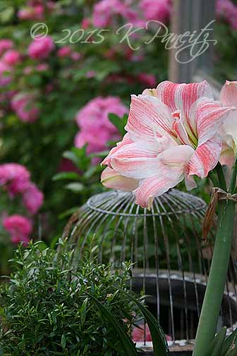 Amaryllis 'First Love3'