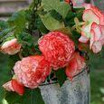 Begonia 'Rose Petticoat2'