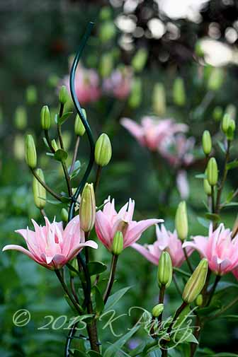 Asiatic Lily 'Elodie4'