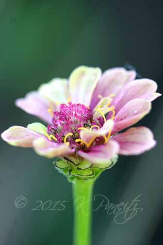 Zinnia 'Queen Red Lime3'