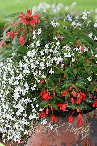 2015 Begonia Bossa Container4