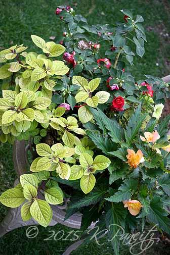 Plectranthus 'Troys Gold' Basket4