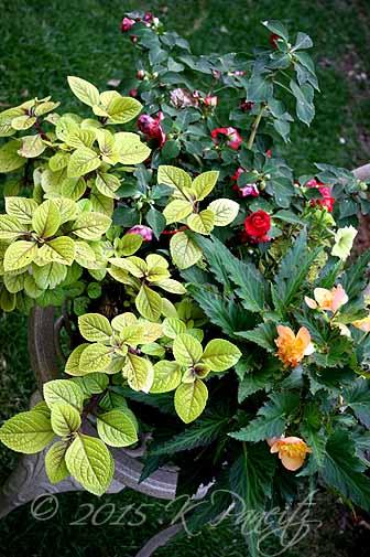 Plectranthus 'Troys Gold' Basket3