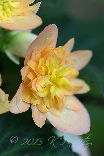 Begonia boliviensis hybrid 'Lucky Strike6'