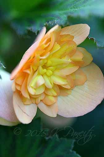 Begonia boliviensis hybrid 'Lucky Strike3'