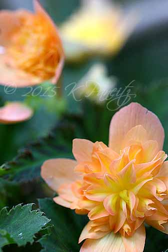 Begonia boliviensis hybrid 'Lucky Strike'