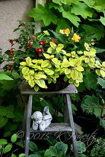 Plectranthus 'Troys Gold' Basket5