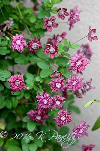 Clematis 'Purpurea Plena Elegans'