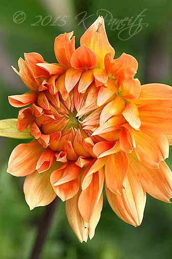 Dahlia 'Big Brother4'