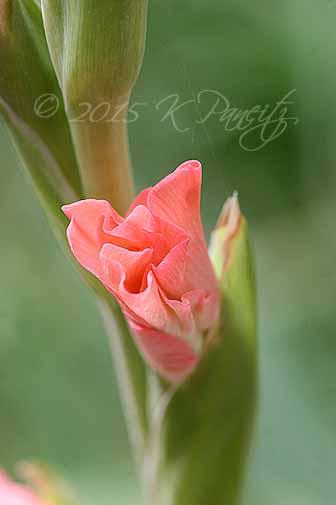 Gladiolus 'Coral Seas4'