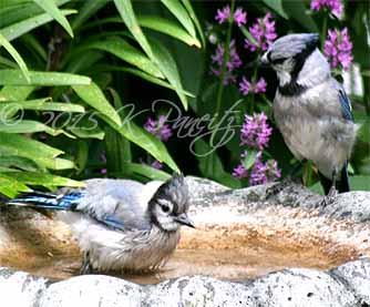Blue Jays1