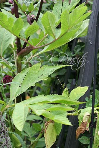 Angelica gigas foliage