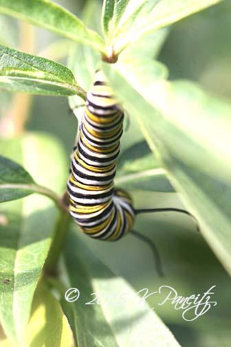 Monarch caterpillar6