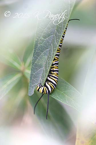 Monarch caterpillar11