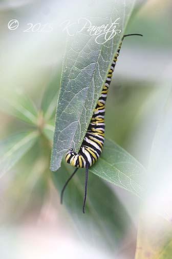 Monarch caterpillar11