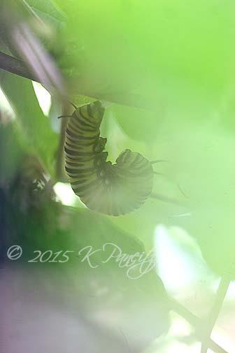 Monarch caterpillar pupating