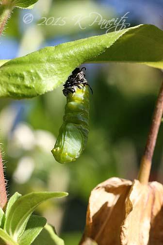 Monarch metamorphosis9