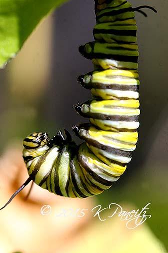 Monarch caterpillar pupating11