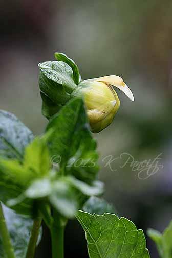Dahlia 'Apple Blossom' bud